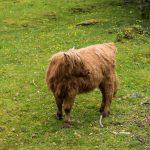Fureasfossen-Brekkefossen-cow